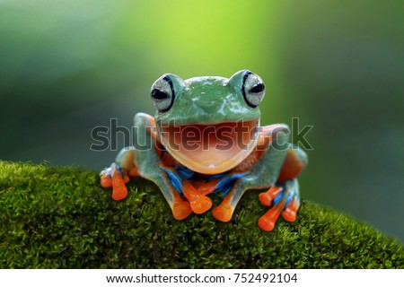 Tree frog, Flying frog laughing, animal closeup #752492104