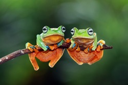 Tree frog, flying tree frog on branch