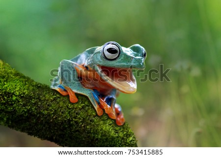 Tree frog, funny frog