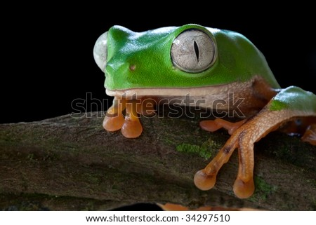 tree frog green frog tropical frog amazon animal rain forest amphibian tropical exotic species big eyes macro portrait copy space endangered species south america jungle