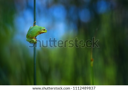 Tree frog, Hyla arborea sitting in its natural environment. Beautiful green frog with green and blue background. Spring portrait of cute amphibian. #1112489837