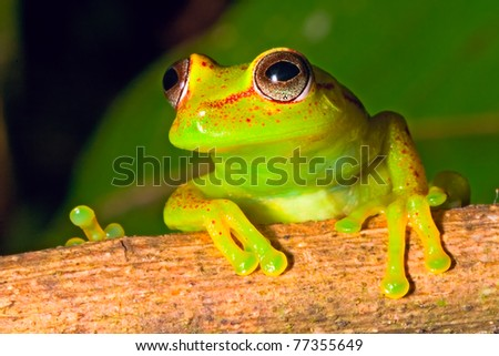 tree frog in Brazil tropical amazon rain forest beautiful night animal and endangered amphibian green frog red eyed frog Hypsiboas cinerescens exotic colorful treefrog in jungle macro
