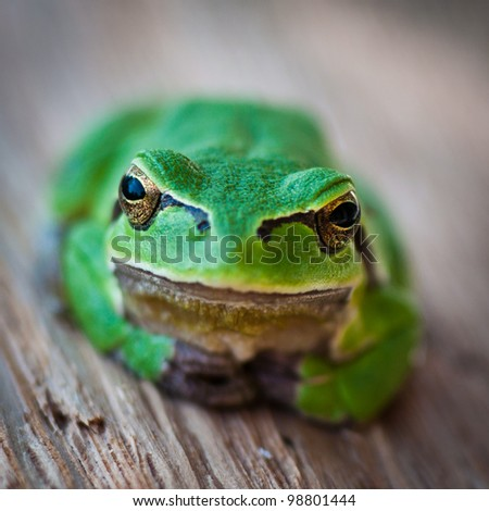 Tree frog in close-up