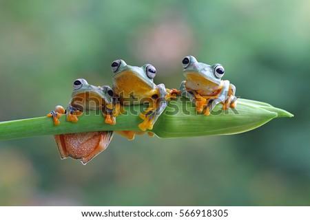 Tree frog, java tree frog - Shutterstock ID 566918305