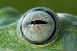 Tree frog, Javan tree frog eyes, closeup