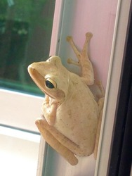 tree frog perched on the window sill