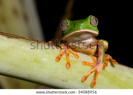 tree frog phylomedusa tomopterna at night in Bolivian jungle copy space amazon rain forest amphibian green treefrog on branch nocturnal animal with big eyes kermit nature conservation - stock photo