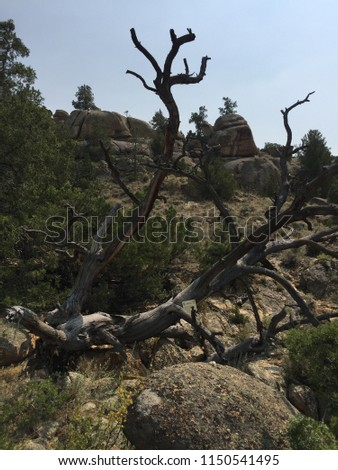 Tree from which Ella Watson (Cattle Kate) and Jim Averelle were hung in Wyoming in 1889 #1150541495