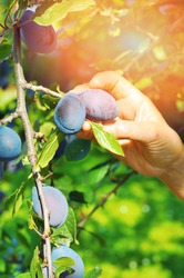 Tree full of blue plums in an orchard.Woman's hand picking  blue plums in a orchard.Plum harvest. Farmers hands with freshly harvested plums