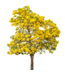 Tree full of yellow flower isolated on white background