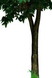 tree green isolated