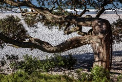 Tree growing at right angles on Hahei beach
