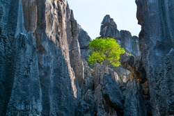 Tree growing on tall rocks formations of limestone in The Stone Forest located in Shilin Yi Autonomous County of Yunnan Province in China, Asia, UNESCO World Heritage Site