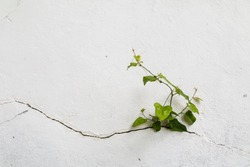 Tree growing through Cracked wall.Small tree-during the growth on cement wall. Old plaster walls cracked crack.weed growing through crack in pavement