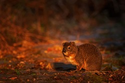 Tree hyrax, Dendrohyrax arboreus, cute rare animal  on the forest road in Bale Mountains NP, Ethiopia. Hyrax with beautiful evening light. Widlife nature in Ethiopia in Africa. Sunset in forest.