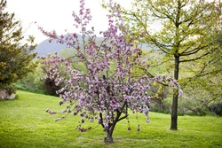 Tree in a garden in full bloom in spring with pink flowers