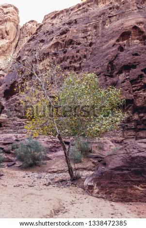 Tree in Abu Khashaba canyon in Wadi Rum - famous valley in Jordan #1338472385