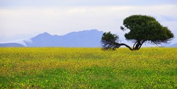 Tree in Canola Fields in The Overberg - South Africa