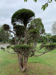 Tree  in garden  known as Japanese Yew