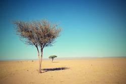 tree in Sahara desert in Morocco near Mhamid