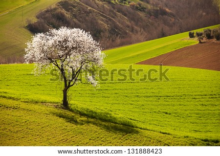 Tree in spring blossom in green fields