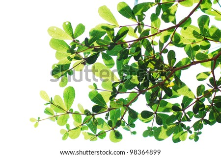 Tree isolated, Green leave on white background texture