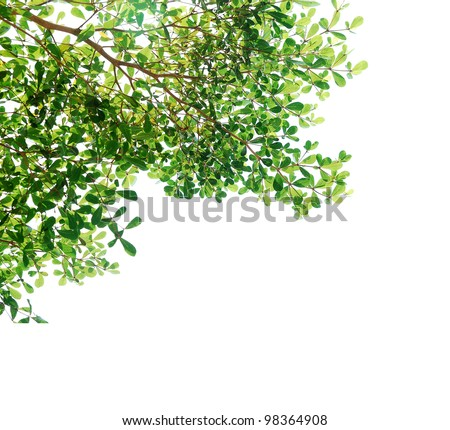 Tree isolated,Green leave on white background texture