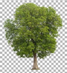 Tree isolated on transparent background. Clipping path included