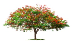 Tree isolated on white background.Flame tree or Royal Poinciana tree with clipping paths for garden design.Tropical species found in Asia.The plants are blooming with beautiful red flowers.