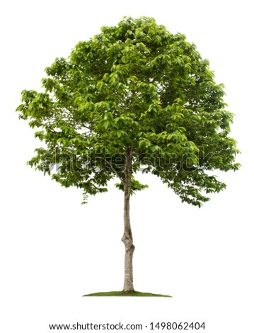 Tree isolated on white background with clipping paths for garden design.Tropical species found in Asia.