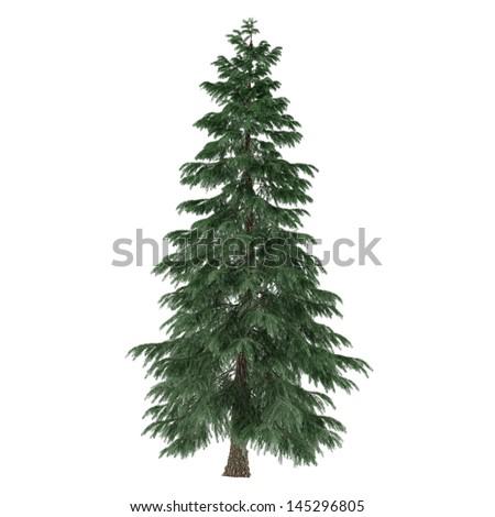 Tree isolated. Pinus fir-tree