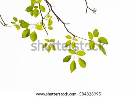 Tree Leaf On White Background #584828995