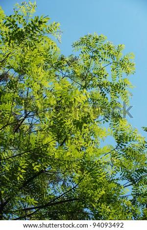 Tree leafs in sunlight against blue sky
