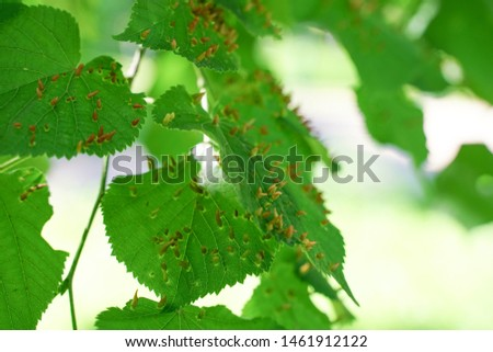 tree leaves affected by aphids. Insect pests and tree deseases. Organic food and agriculture. #1461912122