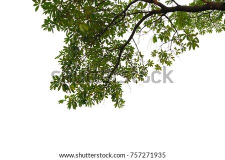 Tree leaves and branch pendant foreground isolated on white for park or garden decorative with clipping path, (Alstonia scholaris, White cheesewood, Black board tree)