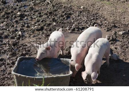 Tree little pigs in paddock