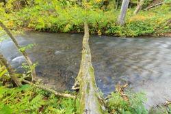 Tree log bridge across Oirase Stream (Oirase Keiryu), the mountain stream outlet draining Lake Towada in Aomori, Tohoku, Japan. The most famous and popular autumn colors destinations in Japan.