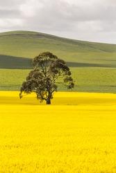 Tree n a yellow rapeseed field