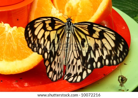 Tree Nymph butterfly feeding on oranges