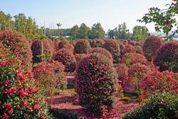 Tree of Camellia(Dongbaek) arboretum in jeju island, korea