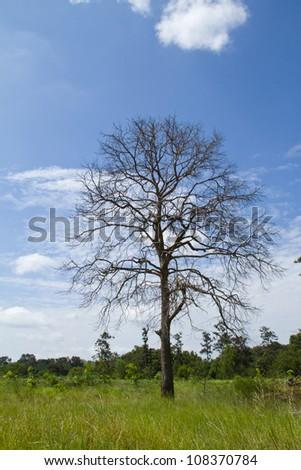 Tree of death dry