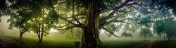 Tree of Life, Amazing Banyan Tree in the fog. Morning landscape. Abstract blur and Soft Focus
