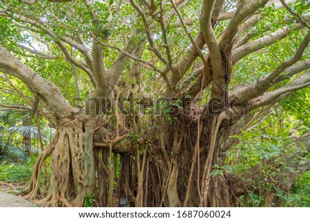 Tree of Life, Amazing Banyan Tree in the fog. Morning landscape. Abstract blur and Soft Focus Foto stock ©