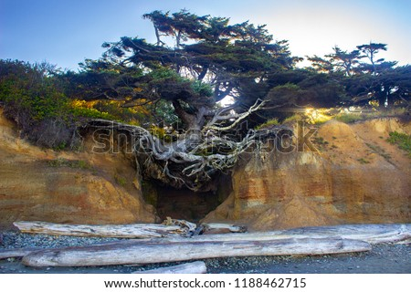 Tree of Life Huge Tree with Roots on a Beach Cliff