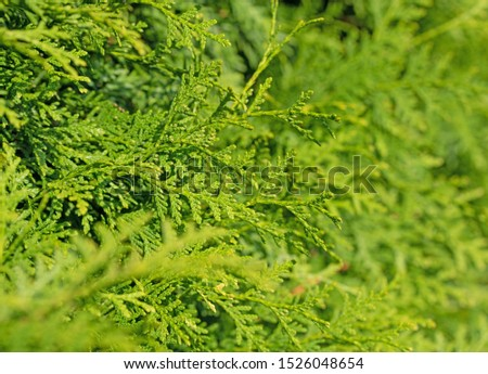 Tree of life, Thuja occidentalis, in a close-up