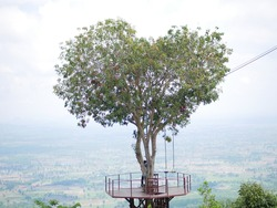 Tree of Love, Heart-shaped Tree at Noen Maprang District Phitsanulok, Thailand.