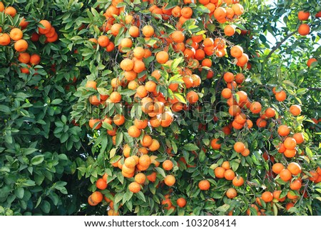 Tree of orange