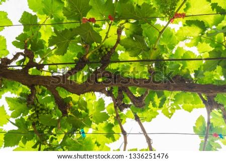 Tree of  wine grapes,leaf grape harvest background  #1336251476