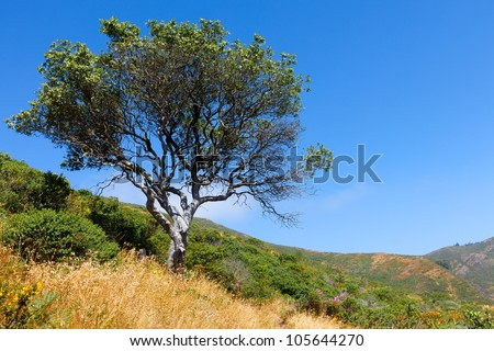 Tree on a hill.  California landscape with one oak tree, golden grass and green shrubs on a hillside shot against a blue sky.