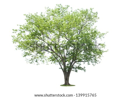 Tree on a white background. - stock photo